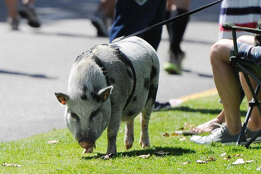 Spots Spotted Potbelly Pig On A Leash Monty S Furry Friends